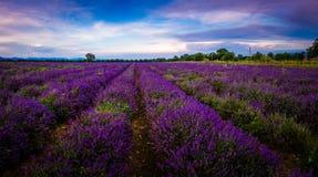 Lavendelfält i Bulgarien royaltyfria bilder