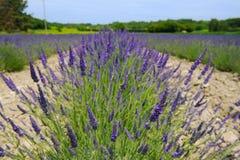 Lavendelfält i Frankrike Arkivbilder