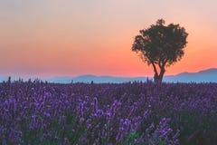 Lavendelfält i franska Provence med det enkla trädet i försiktigt rosa solnedgångljus Arkivbilder