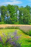 Lavendelfält i inre gård i Yverdon Schweiz Arkivbilder