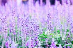 Lavendelfält i klart av väder arkivfoto