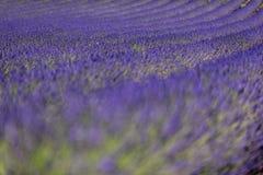 Lavendelfält i Provence Arkivbilder
