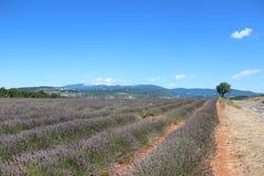 Lavendelfält i Provence med Monten-Ventoux i bakgrunden Arkivbilder
