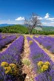 Lavendelfält i Provence, nära den Sault staden i Frankrike Royaltyfria Bilder