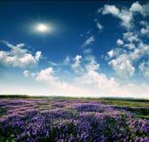 Lavendelfält i slutet av dagen Royaltyfri Foto
