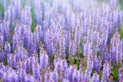 Lavendelfält i solljus Royaltyfri Foto