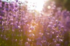 Lavendelfält i solnedgång Royaltyfri Bild