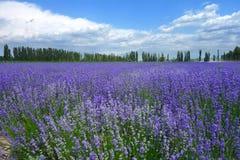 Lavendelfält i sommar arkivfoton