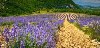 Lavendelfält i sommarbygd, Provence, franc royaltyfri bild