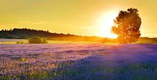 Lavendelfält i sommarbygd, Provence, franc royaltyfria foton