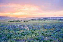 Lavendelfält i sommaren arkivfoto