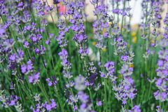 Lavendelfält i sommaren Royaltyfria Foton