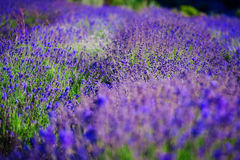 Lavendelfält i sommaren Fotografering för Bildbyråer