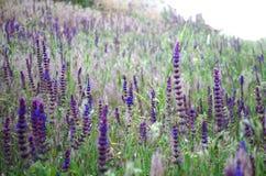 Lavendelfält i strålarna av den varma solen för sommar royaltyfri fotografi