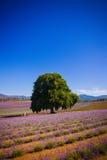 Lavendelfält i Tasmanien arkivfoto