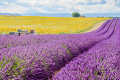 Lavendelfält i Valensole Arkivfoton