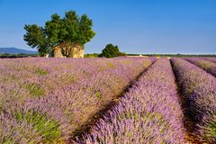 Lavendelfält i Valensole med stenhuset i sommar Platå de Valensole, Alpes de Haute Provence, Frankrike royaltyfri foto