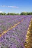 Lavendelfält med blå himmel Arkivfoto