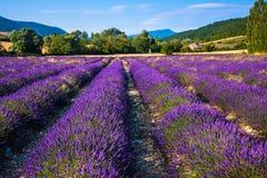 Lavendelfält nära den franska Provence Arkivbild