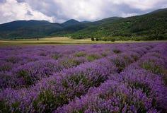 Lavendelfält nära Kazanlak, Bulgarien Arkivfoto