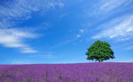 Lavendelfält och lone tree Arkivbild