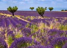 Lavendelfält och olivträd i Valensole, sydliga Frankrike royaltyfri foto
