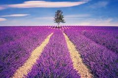 Lavendelfält och träd Arkivbild