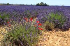 Lavendelfält och vallmo Royaltyfria Bilder