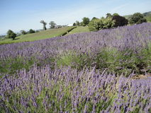 Lavendelfält på Nya Zeeland 1 Royaltyfri Fotografi