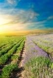 Lavendelfält på solnedgången Royaltyfria Bilder
