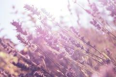 Lavendelfält på solnedgången i aftonen crimea fotografering för bildbyråer