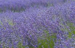 Lavendelfält, San Diego County, Kalifornien Royaltyfria Bilder