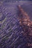 Lavendelfält som blommas med ljusa strålar royaltyfri fotografi
