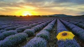 Lavendelfält vid solnedgång arkivbilder