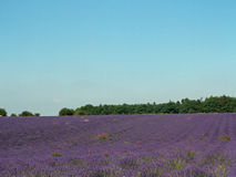 Lavendelfältet Royaltyfri Fotografi