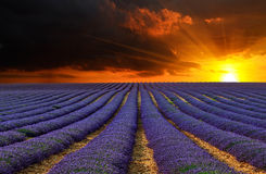 Lavendelfältet 8 Royaltyfria Foton