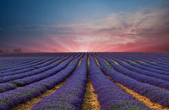 Lavendelfältet 6 Arkivfoton