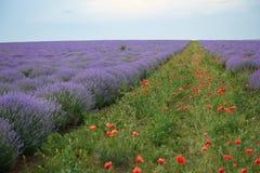 Lavendelfältet med vallmo blommar, det härliga sommarlandskapet Fotografering för Bildbyråer