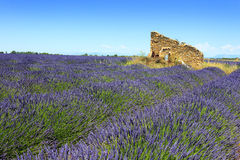Lavendelfältet och fördärvar Royaltyfri Bild