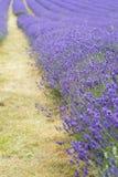 Lavendelfältlandskap med differentiell fokusteknikgivin Royaltyfri Foto