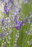 Lavendelförälskelse Sommar Royaltyfri Bild