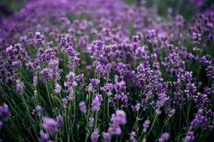 Lavendelf?lt i solljus, Provence, plat? Valensole H?rligt avbilda av lavendel s?tter in Lavendelblommaf?lt royaltyfri fotografi