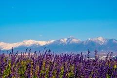 Lavendelf?lt p? den Hokkaido Tomita f?r Choei lavendellantg?rd lantg?rden arkivbild