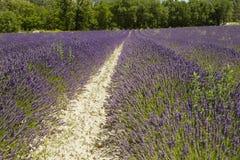 Lavendelfeldüberblick Stockbild