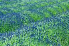 Lavendelfeld stockbilder