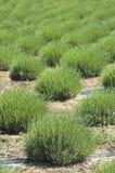Lavendelfeld Stockfoto