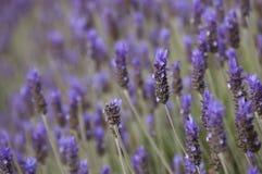 Lavendelfeld Stockfotos