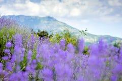 Lavendelfeld auf dem Hintergrund von Bergen und von Himmel mit Wolken lizenzfreie stockfotografie