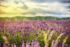 Lavendelfeld auf Sonnenuntergang Stockbild