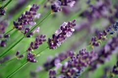 Lavendelfeld in Baja Stockfotos